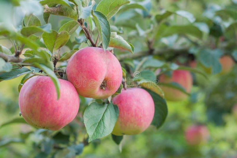 Rosa äpplen hänger på en filial i trädgården arkivbild