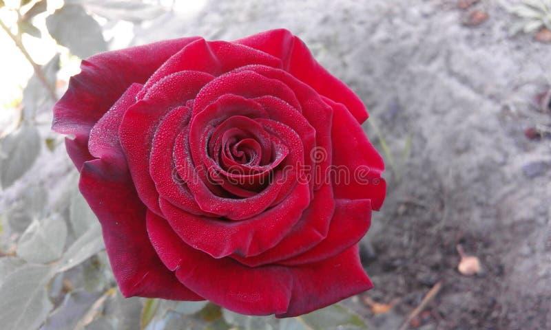 Rosa Αυξήθηκε λουλούδι στοκ εικόνες με δικαίωμα ελεύθερης χρήσης