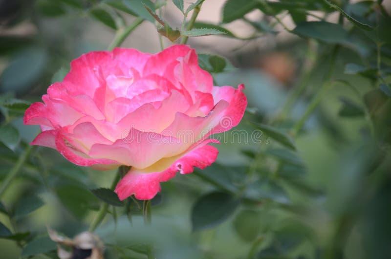 Rosa 1 immagini stock