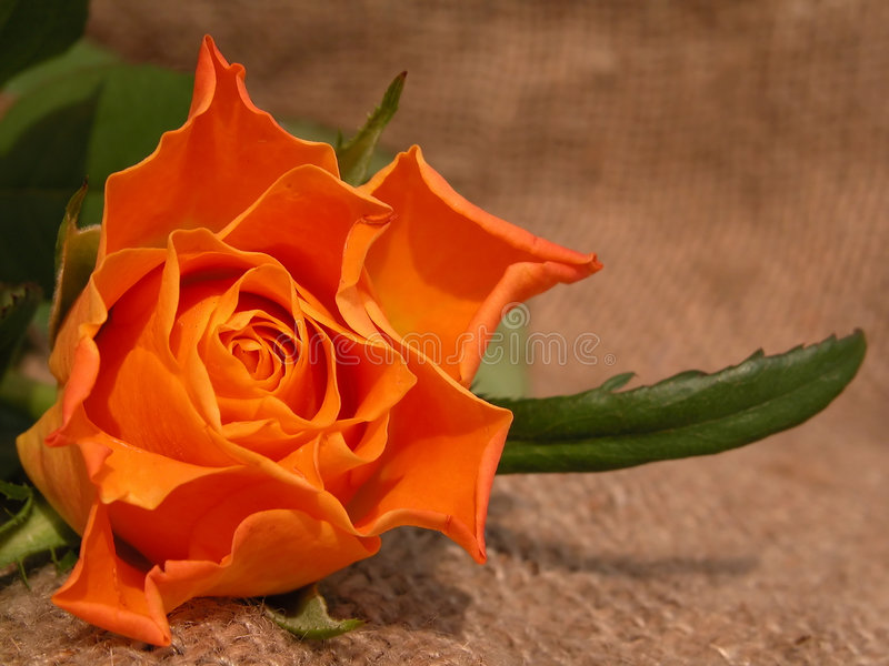 Download Rosa foto de stock. Imagem de flores, jardim, blush, possa - 105460