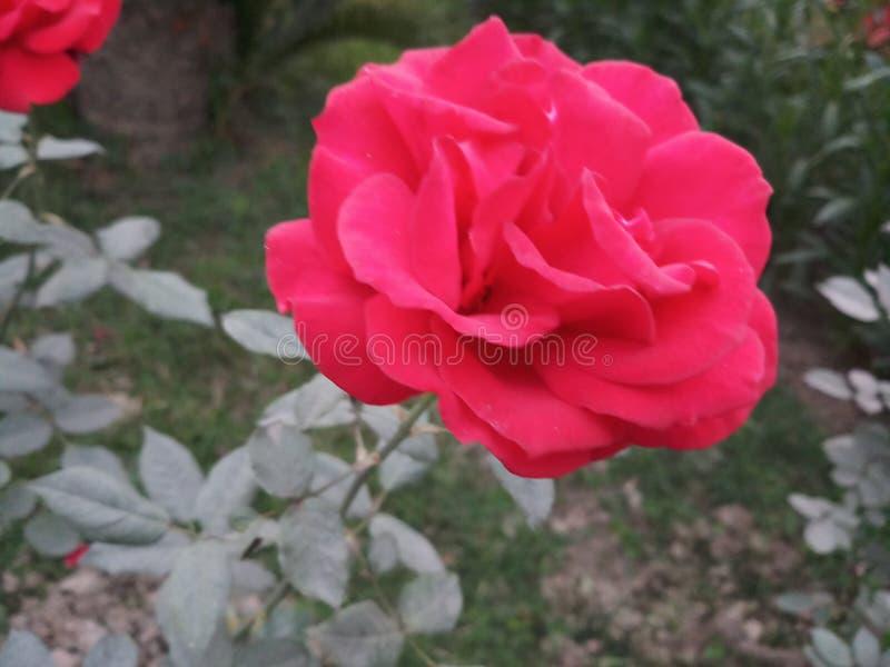 A Rosa fotos de stock