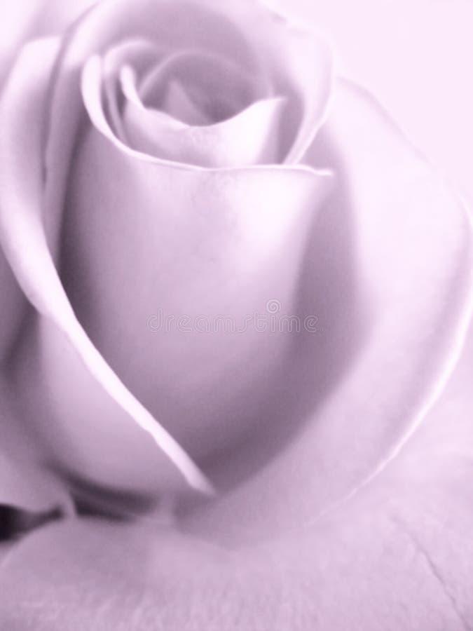 Download Rosa imagem de stock. Imagem de aroma, valentine, paixão - 12805479