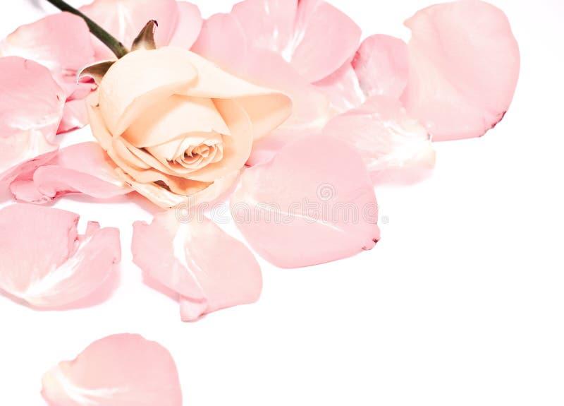 Rosa stockfotografie
