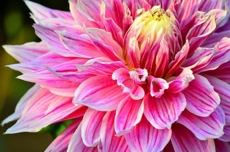 Rosa foto de archivo libre de regalías