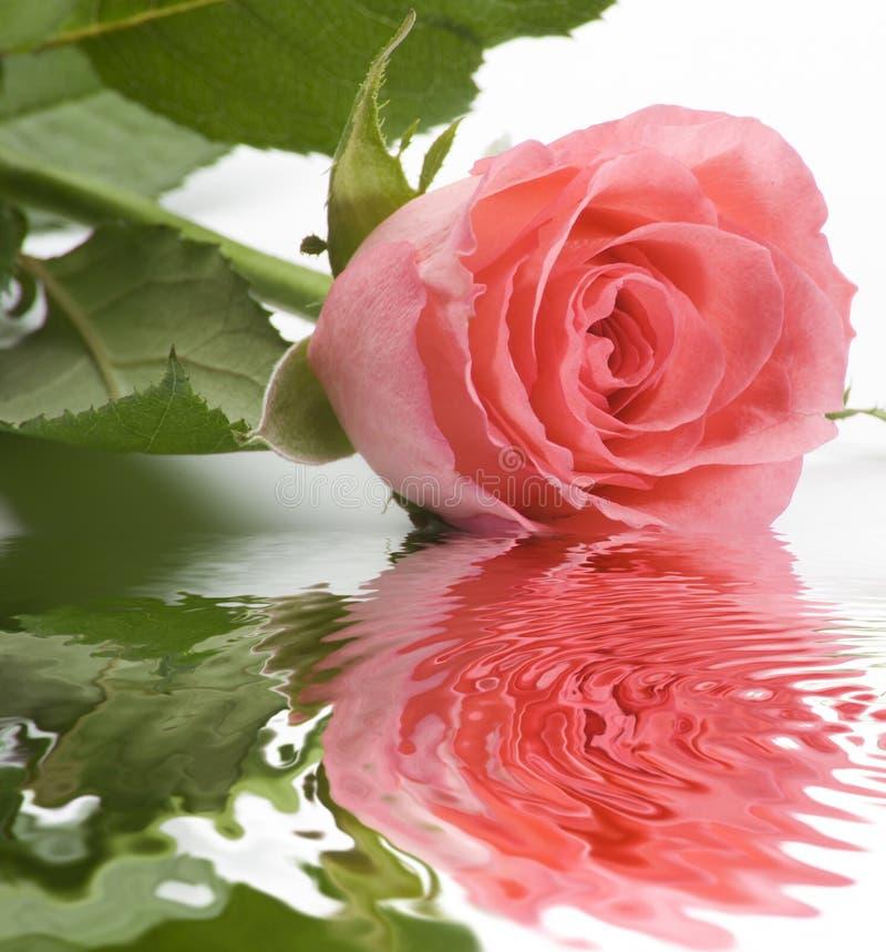 Rosa fotografia de stock