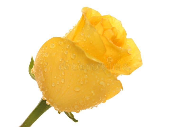Rosa. fotografia de stock royalty free