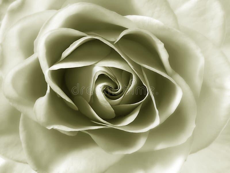 Download Rosa foto de stock. Imagem de fragrância, romance, scent - 540974