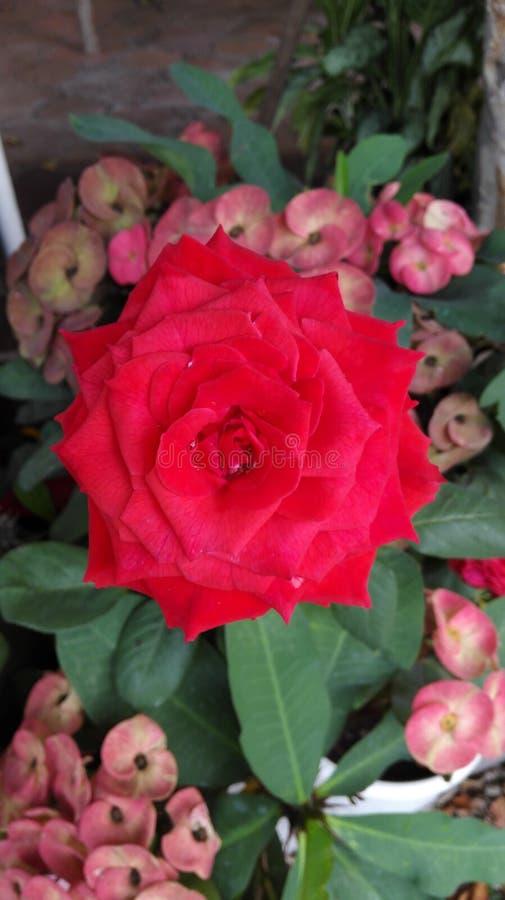 rosa royaltyfria foton