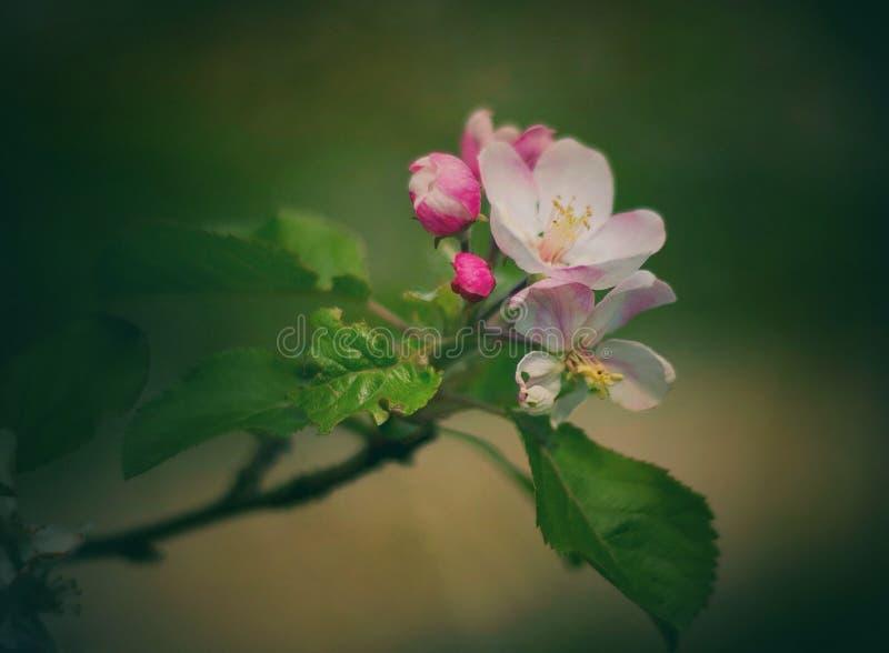 Rosa lizenzfreies stockfoto