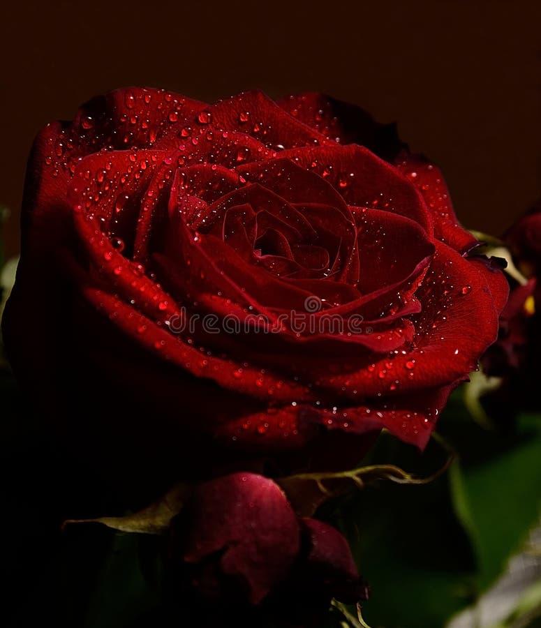 Rosa 2 foto de stock