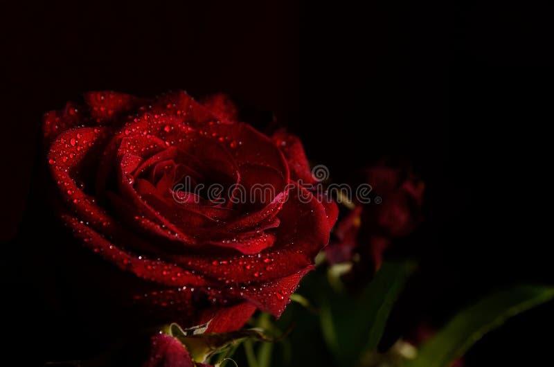 Rosa 4 fotos de stock royalty free