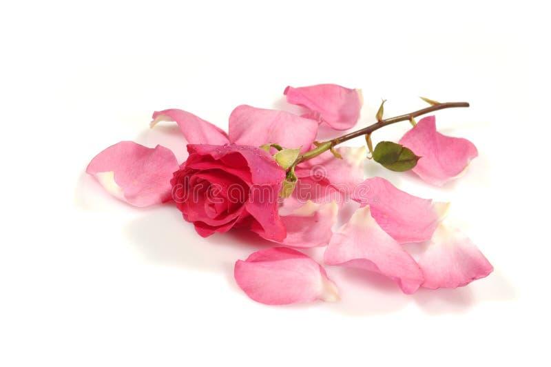 Rosa (7) immagine stock