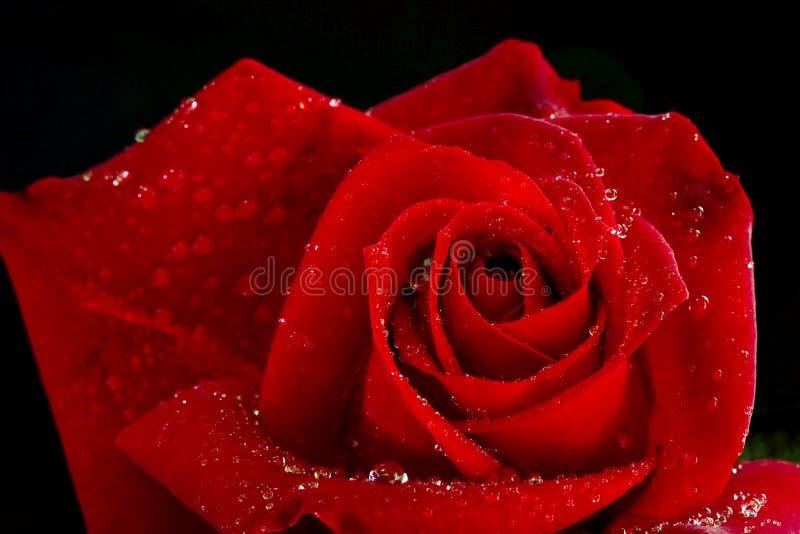 Download Rosa fotografia stock. Immagine di petali, acqua, bello - 7311010