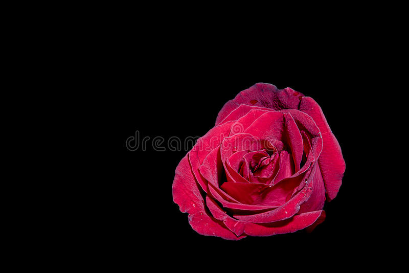 Rosa fotos de stock royalty free