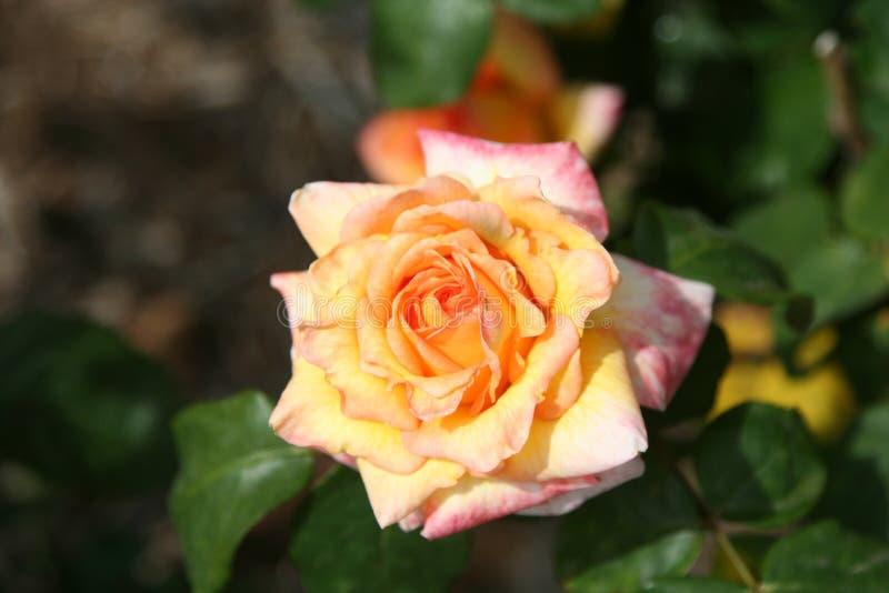 Rosa immagine stock