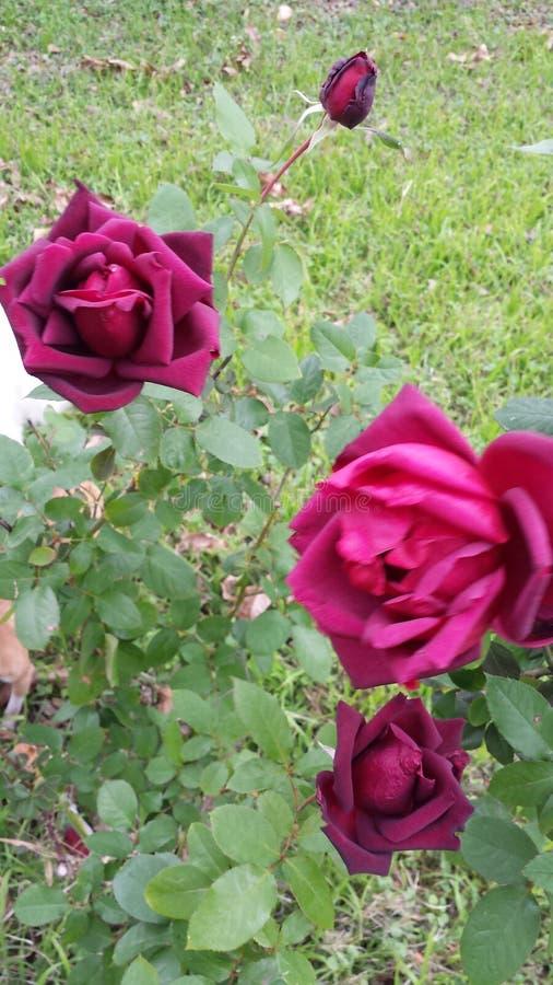 Rosa stockfotos