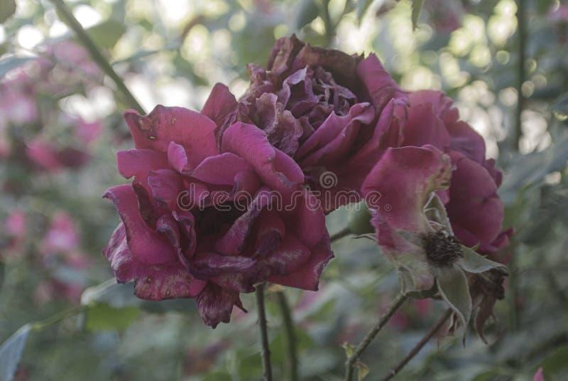 Rosa immagine stock immagine di fogli pianta fioritura for Rosa pianta