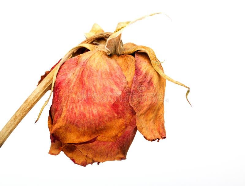 Rosa absolutamente seca do vermelho fotografia de stock