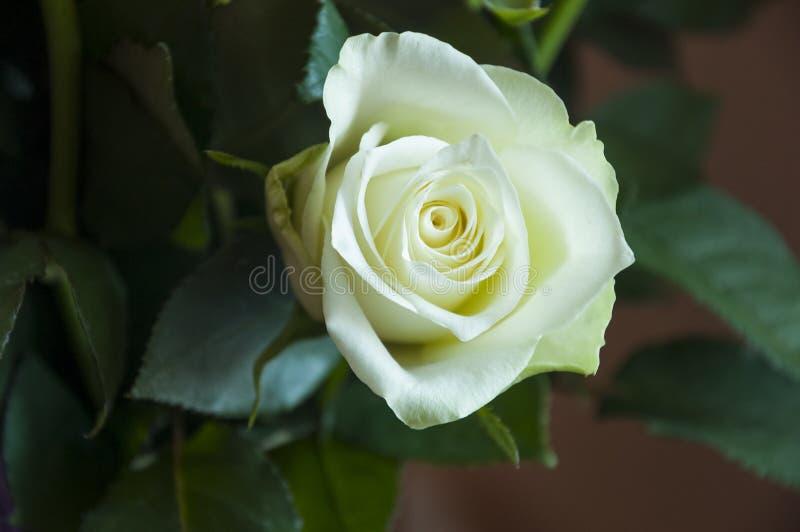 Rosa adorabile del fiore di colore bianco foglie verdi e spine Ancora vita 1 Fondo rosa calmo fotografia stock