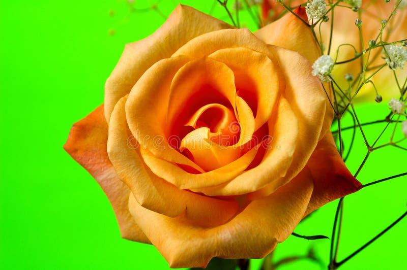 Rosa alaranjada 4 imagens de stock royalty free