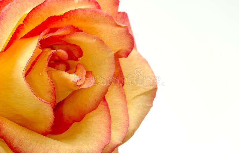 Rosa alaranjada fotografia de stock royalty free