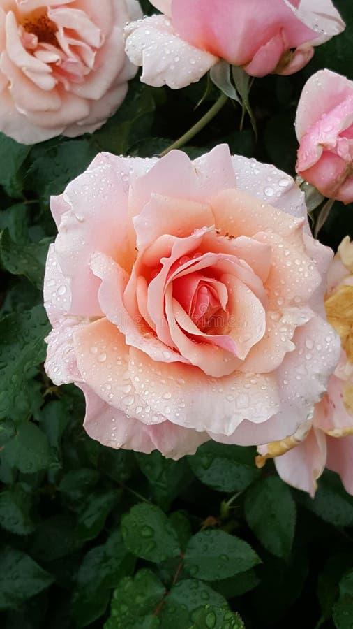 Rosa alaranjada do rosa fotos de stock royalty free