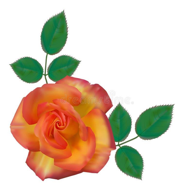 Rosa alpina 01 ilustração do vetor