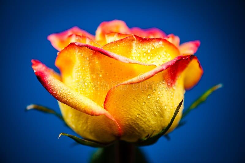 Rosa amarela foto de stock royalty free