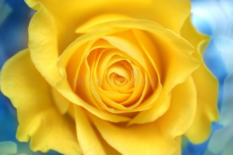 Rosa amarela imagens de stock