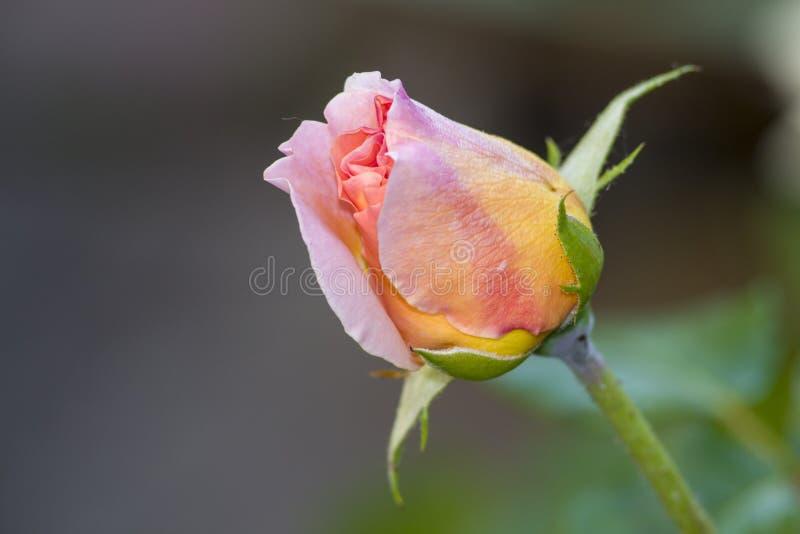 a rosa Amarelo-cor-de-rosa cresce no jardim fotos de stock royalty free