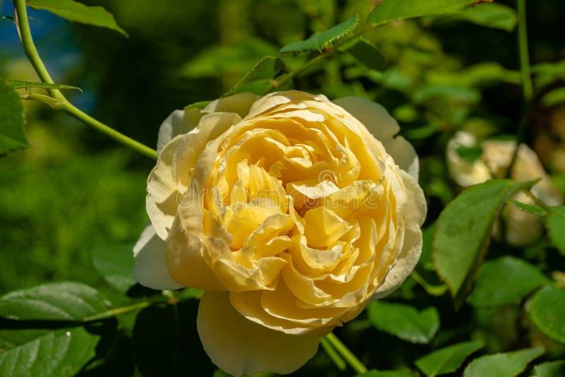 Rosa amarilla grande hermosa con las hojas verdes en sol brillante fotos de archivo