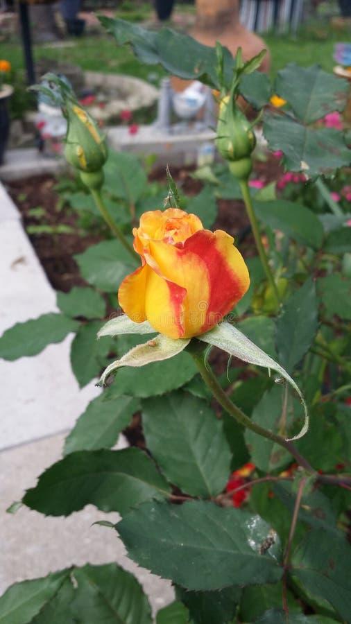 Rosa amarilla y roja imagen de archivo libre de regalías