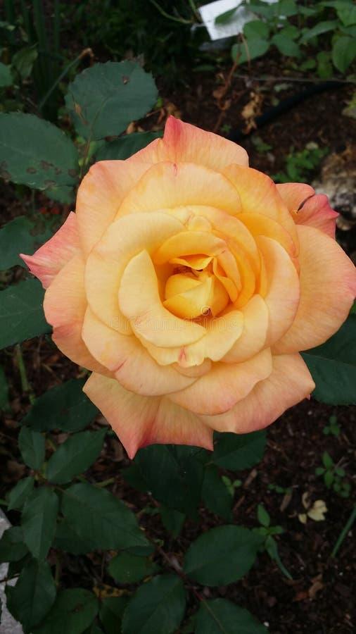Rosa amarilla y roja fotografía de archivo libre de regalías