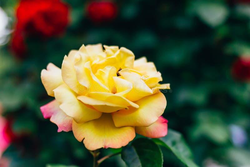 Rosa amarillo claro floreciente en el jardín fotografía de archivo