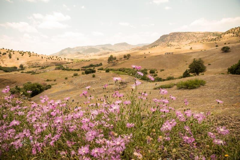 Rosa Amberboa blüht vor einer Gebirgswüstenszene in Zeit Morroco im Frühjahr stockbild