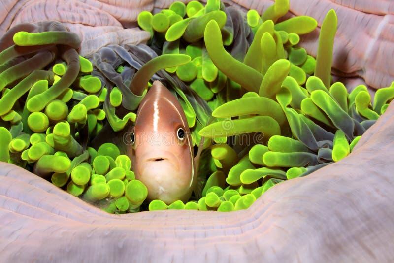 Rosa Amenonefish, Amphiprionperideraion royaltyfria foton