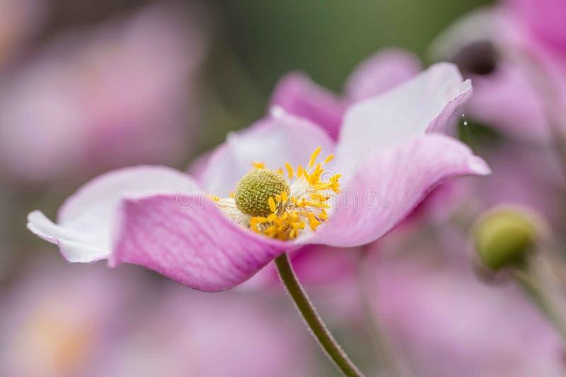 Rosa Anemone blüht Nahaufnahme lizenzfreie stockbilder