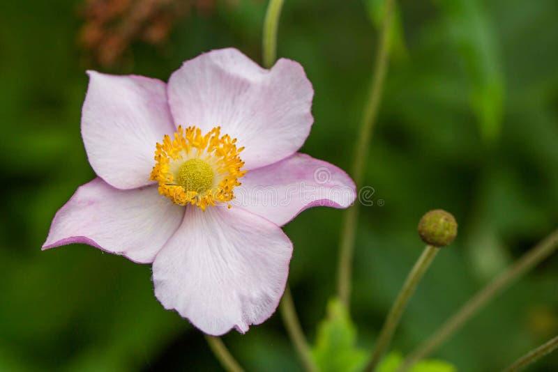 Rosa Anemone blüht Nahaufnahme lizenzfreie stockfotografie