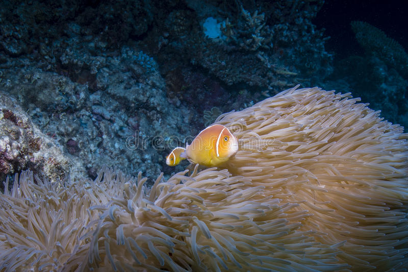 Rosa Anemonefish arkivfoto