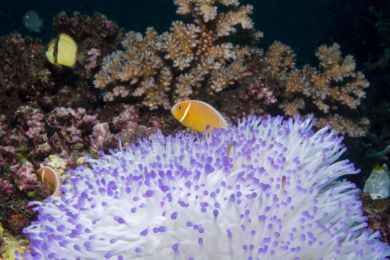 Rosa Anemonefish arkivbild