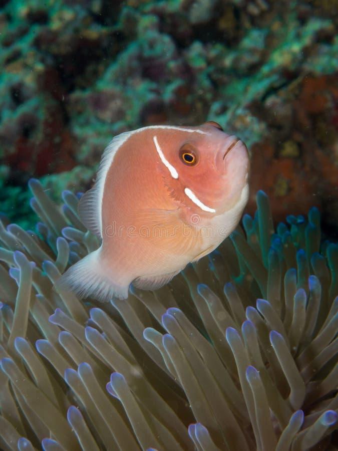 Rosa Anemonefish - Amphiprionperideraion royaltyfria bilder