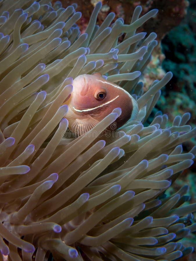 Rosa Anemonefish - Amphiprionperideraion royaltyfria foton