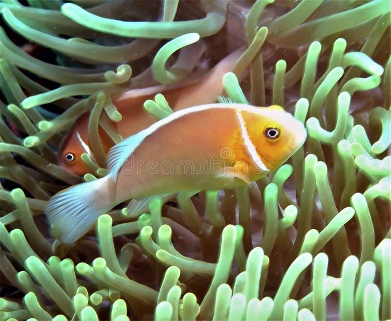 Rosa Anemonefish med småfisk arkivbild