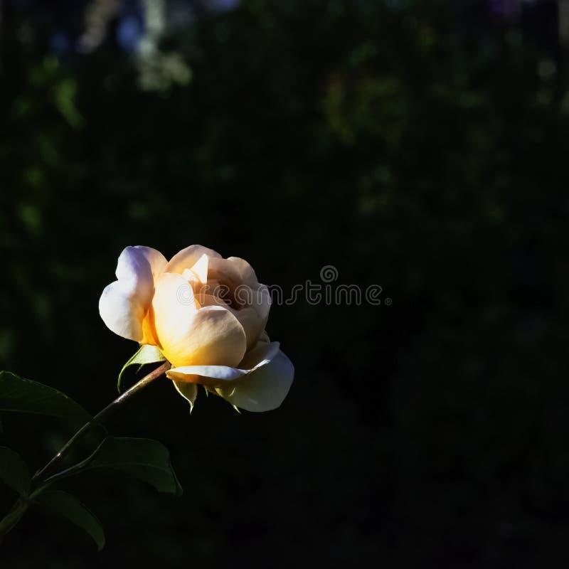 Rosa Anne Harkness é um floribunda aumentou variedade em Warwick, Reino Unido imagens de stock royalty free