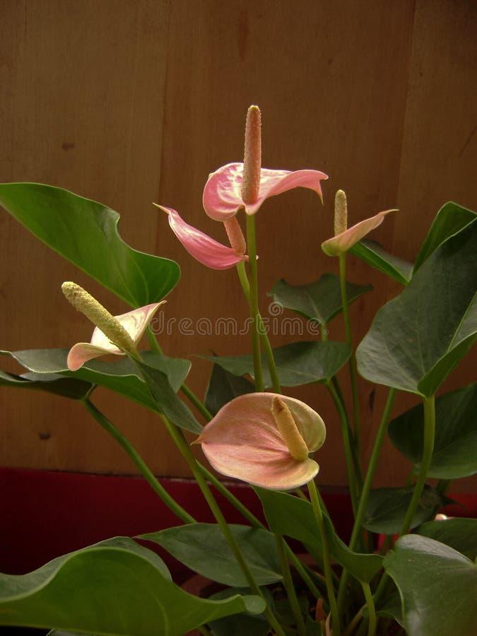 Rosa anthuriumandraeanumblomma royaltyfri foto