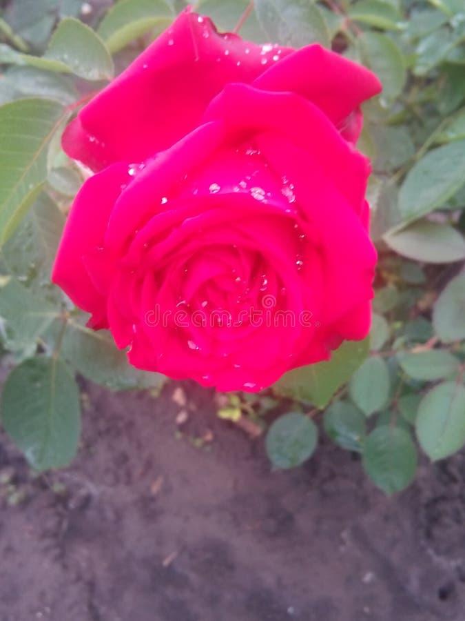 Rosa após a chuva fotografia de stock