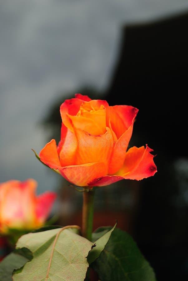 Rosa arancio su un posto calmo fotografia stock