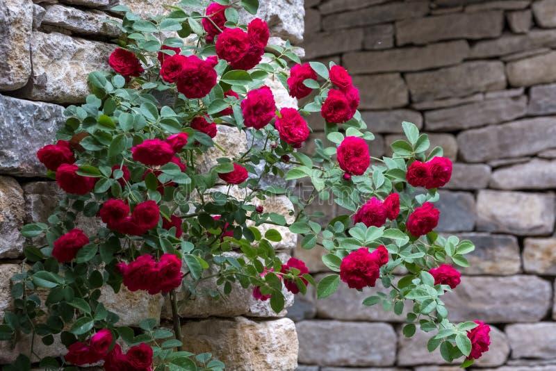 Rosa arbusto com as rosas de escalada vermelhas, fotografadas contra a parede de pedra seca foto de stock
