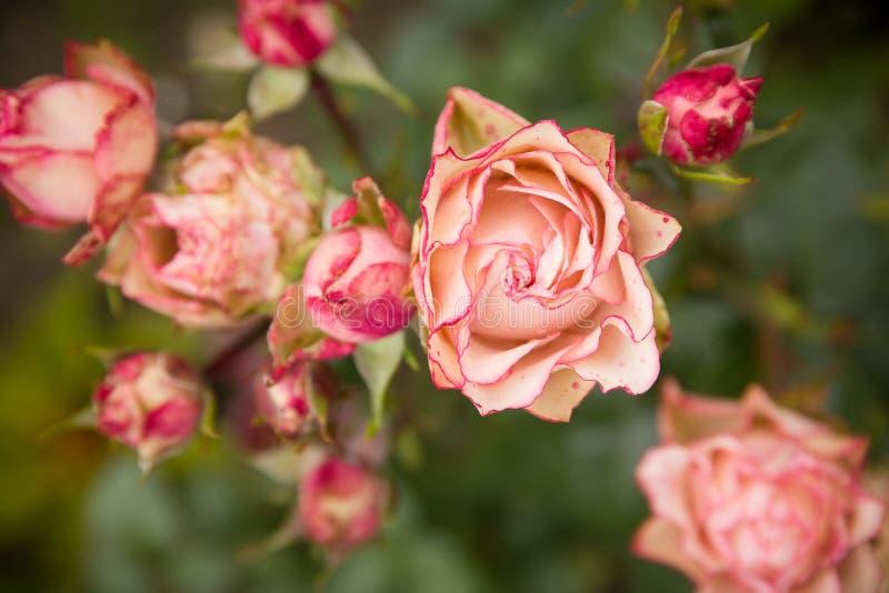 Rosa arbusto com lotes de rosas cor-de-rosa na flor, foco macio Rosas cor-de-rosa no jardim outdoors fotos de stock