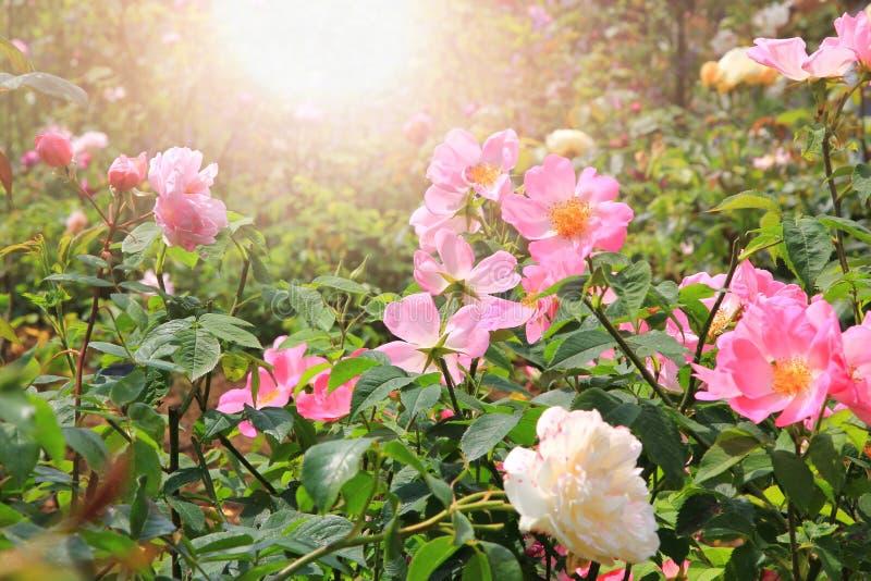 Rosa arbusto com rosas de cão e fundo brilhante imagens de stock